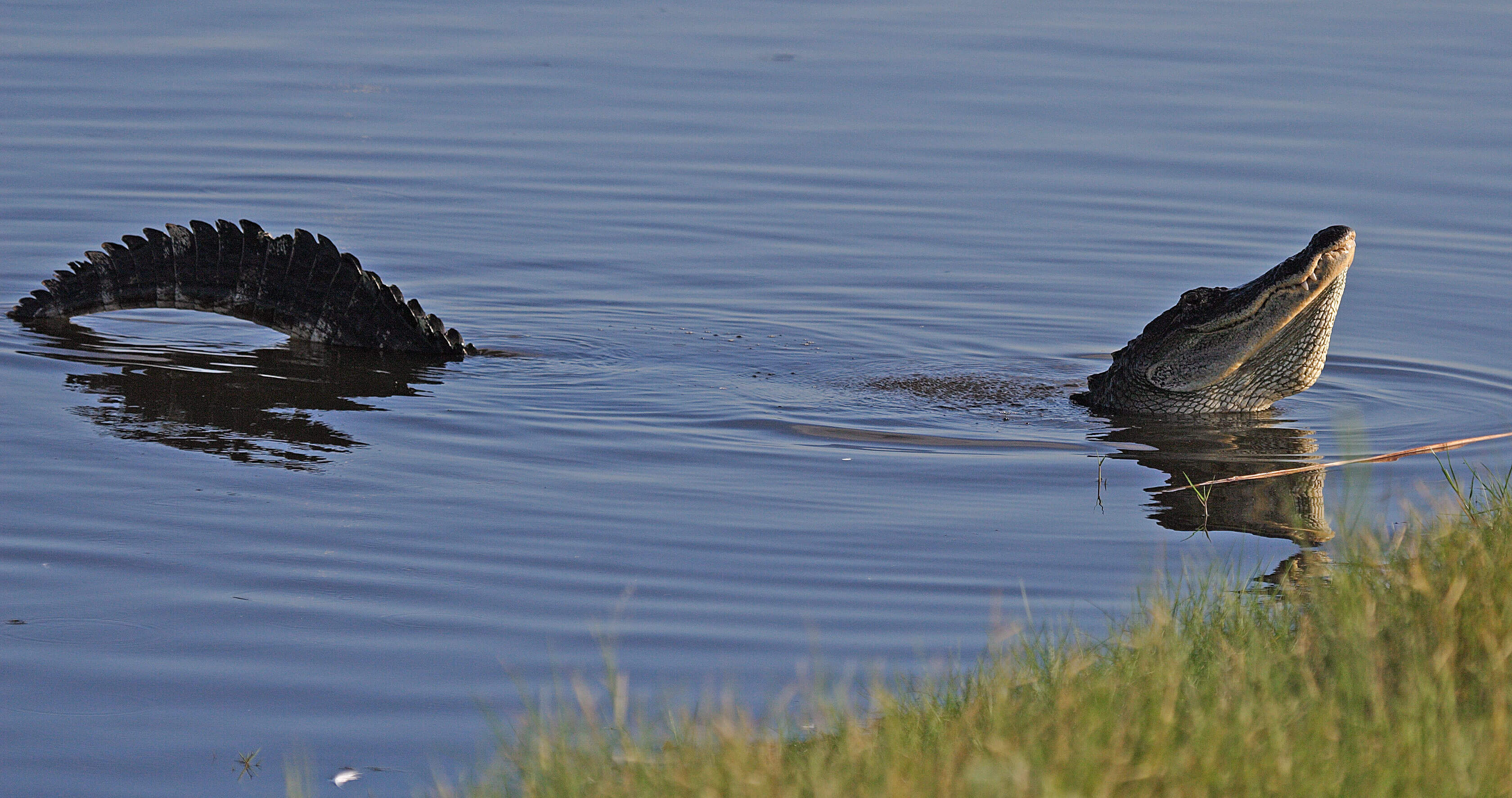 A bull gator at the St Marks National Wildlife Refuge
